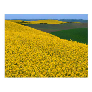 USA, Washington, Whitman County, Palouse, Canola Postcard