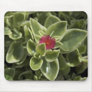 USA, Washington, Woodinville, Sedum flower Mouse Pad