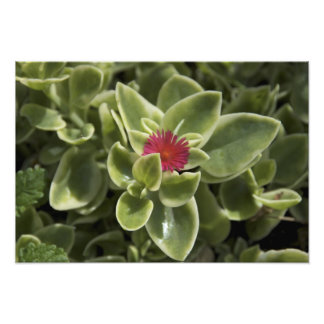 USA, Washington, Woodinville, Sedum flower Photographic Print