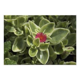 USA, Washington, Woodinville, Sedum flower Photo