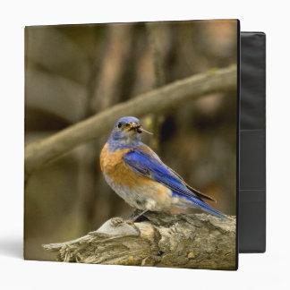 USA, Washington, Yakima. Male western bluebird 3 Ring Binder