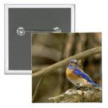 USA, Washington, Yakima. Male western bluebird Button