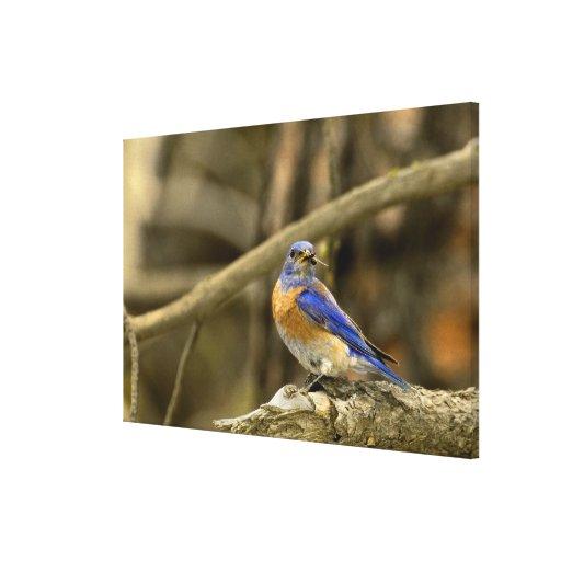 USA, Washington, Yakima. Male western bluebird Canvas Print