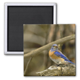 USA, Washington, Yakima. Male western bluebird Magnet