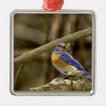 USA, Washington, Yakima. Male western bluebird Metal Ornament