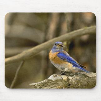 USA, Washington, Yakima. Male western bluebird Mouse Pad