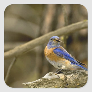 USA, Washington, Yakima. Male western bluebird Square Sticker
