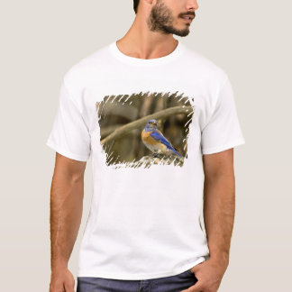 USA, Washington, Yakima. Male western bluebird T-Shirt