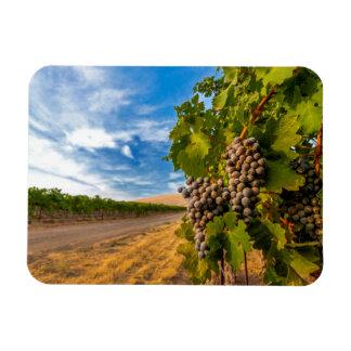 USA, Washington, Yakima Valley. Merlot Grapes Rectangular Photo Magnet
