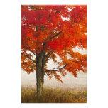 USA, West Virginia, Davis. Red maple in autumn Photo Print