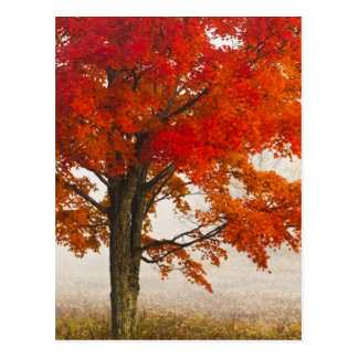 USA, West Virginia, Davis. Red maple in autumn Postcard