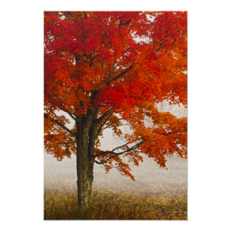 USA, West Virginia, Davis. Red maple in autumn Poster