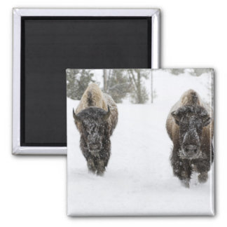 USA, WY, Yellowstone NP, American Bison (Bison 2 Inch Square Magnet