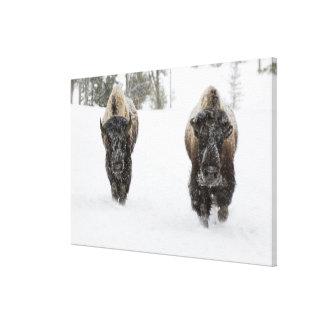 USA, WY, Yellowstone NP, American Bison (Bison Canvas Print