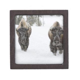 USA, WY, Yellowstone NP, American Bison (Bison Gift Box