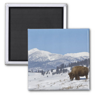 USA, WY, Yellowstone NP, American Bison Bison 2 Inch Square Magnet
