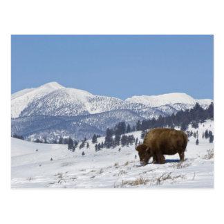 USA, WY, Yellowstone NP, American Bison Bison Postcard