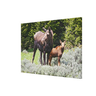 USA, Wyoming, Bighorn Mountains, moose Alces Canvas Print