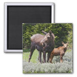 USA, Wyoming, Bighorn Mountains, moose Alces Refrigerator Magnet