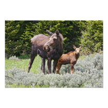 USA, Wyoming, Bighorn Mountains, moose Alces Photo Print