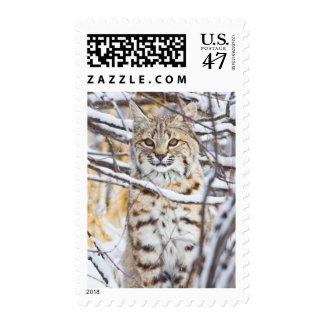 USA, Wyoming, Bobcat sitting in snow-covered Postage Stamp