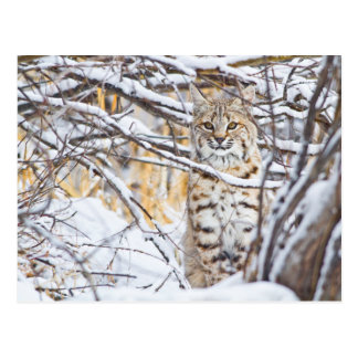 USA, Wyoming, Bobcat sitting in snow-covered Postcard