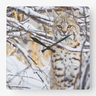 USA, Wyoming, Bobcat sitting in snow-covered Square Wall Clock