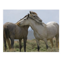 USA, Wyoming, Carbon County. Wild horses 2 Postcard
