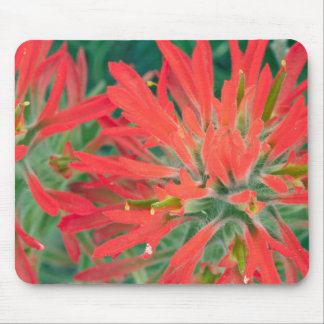 USA, Wyoming, Close-up of Desert Paintbrush Mouse Pad