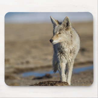 USA, Wyoming, Coyote walking on beach Mouse Pad