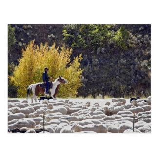 USA, Wyoming, Evanston. Cowboy herding sheep. Postcard