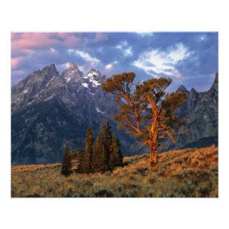 USA, Wyoming, Grand Teton NP. A lone cedar Photo Print