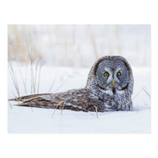 USA, Wyoming, Great Gray Owl sitting in snow Postcard