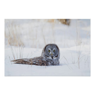 USA, Wyoming, Great Gray Owl sitting in snow Poster