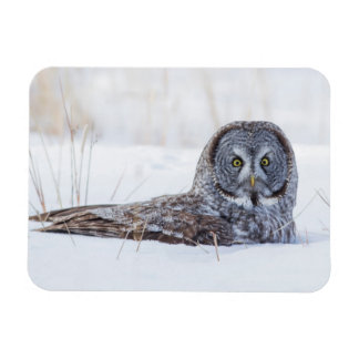 USA, Wyoming, Great Gray Owl sitting in snow Rectangular Photo Magnet