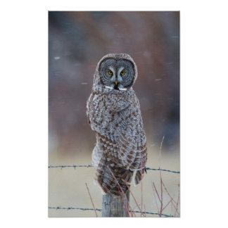 USA, Wyoming, Lincoln County, Great Gray Owl Poster
