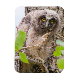 USA, Wyoming, Long-eared Owl chick Magnet