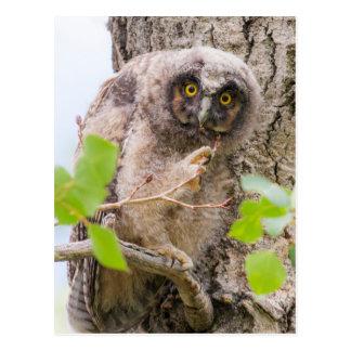 USA, Wyoming, Long-eared Owl chick Postcard