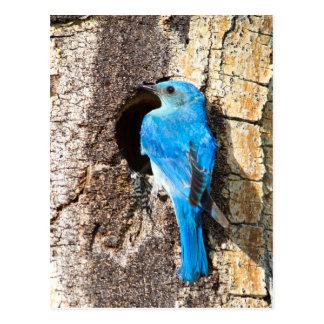 USA, Wyoming, Male Mountain Bluebird Postcard