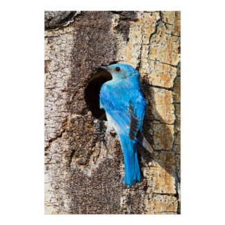 USA, Wyoming, Male Mountain Bluebird Poster