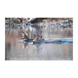 USA, Wyoming, Mule Deer bucks swimming lake Canvas Print