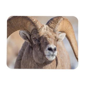 USA, Wyoming, National Elk Refuge, Bighorn Sheep Magnet