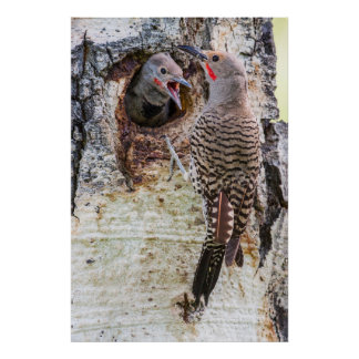 USA, Wyoming, Northern Flicker male feeding Poster