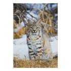 USA, Wyoming, Portrait of Bobcat sitting Poster