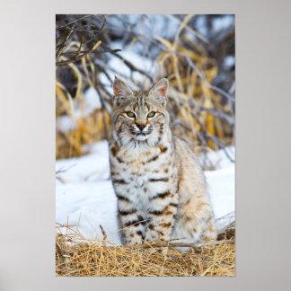 USA, Wyoming, Portrait of Bobcat sitting Poster