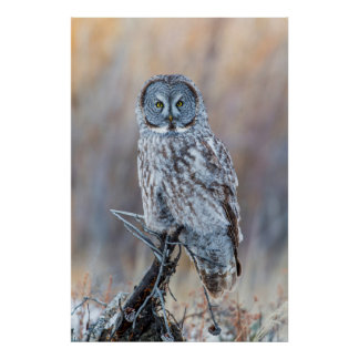 USA, Wyoming, Portrait of Great Gray Owl Poster