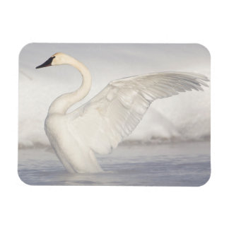 USA, Wyoming, Trumpeter Swan stretches wings Magnet