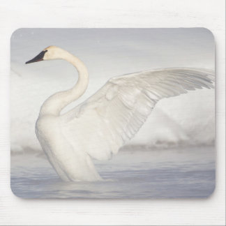 USA, Wyoming, Trumpeter Swan stretches wings Mouse Pad