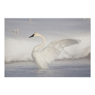 USA, Wyoming, Trumpeter Swan stretches wings Poster
