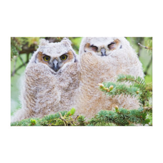 USA, Wyoming, two fledged Great Horned Owl Canvas Print